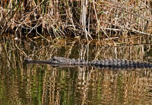 Glades02-Alligator-040610-6472c.jpg