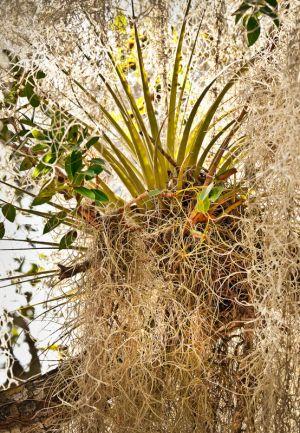 Glades04-EvergladesEpiphytes-040610-6515c.jpg
